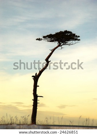Pine tree silhouette in sunset - stock photo