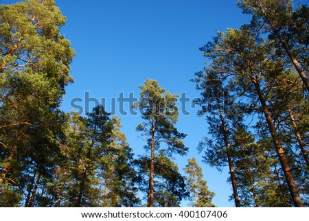 Pine tree tops at blue sky from a low perspective