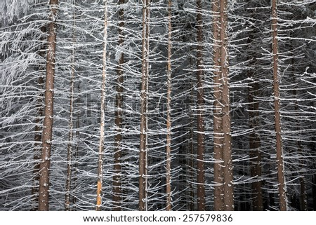 Pine tree trunks covered with snow in winter on the edge of the forest - stock photo