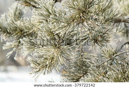Pine tree with hoarfrost in winter forest . Beautiful winter landscape