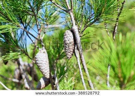 Pine tree with pine cones, close-up.