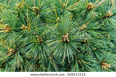 Pine tree with yang pine cones and green pine needles - stock photo