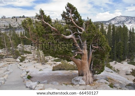 Pine trees along Olmsted Trail, Yosemite National Park, CA - stock photo