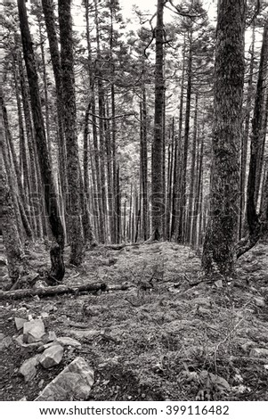 Pine Trees at Mountain Landscape in Black and White - stock photo
