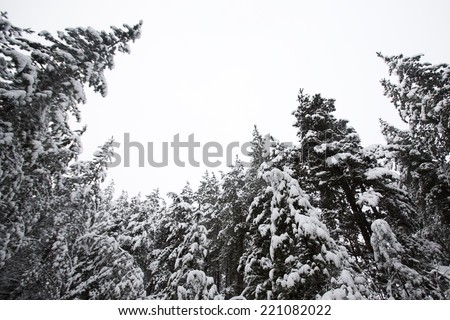 Pine trees covered by snow viewed from below. - stock photo