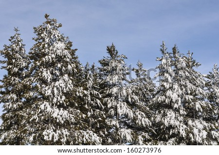 Pine Trees Covered in Snow - stock photo