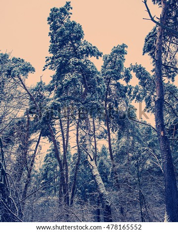 pine trees covered with snow in the forest