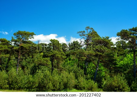 pine trees forest and blue sky