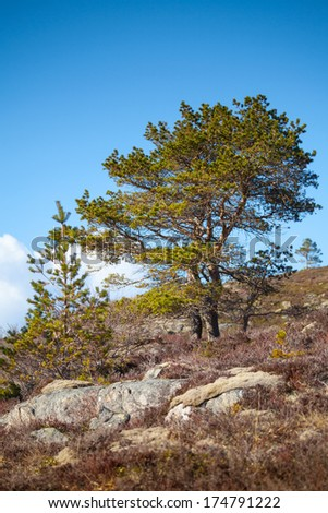 Pine trees grow on rocky hills in Norway