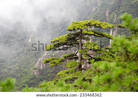 Pine trees in the Haungshan National Park, China - stock photo