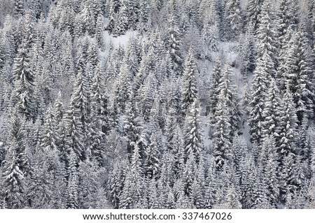 Pine-trees in winter covered with snow. Background or texture - stock photo