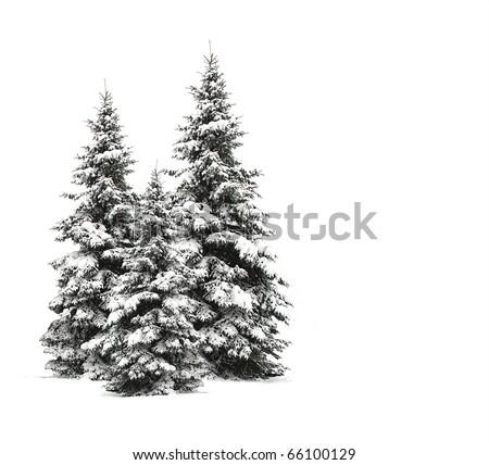 Pine trees isolated on white - stock photo