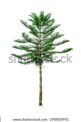 pine trees isolated on white background - stock photo
