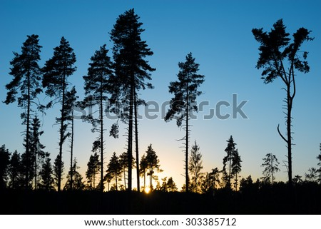Pine trees on evening sunset sky background. - stock photo