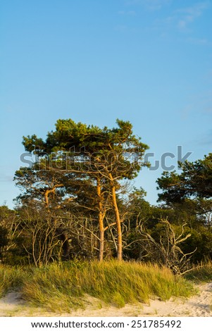 "pine trees on the beach ""Weststrand"" at Darss Peninsula in Germany"