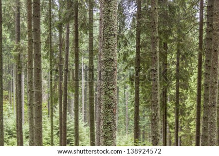 Pine trees texture in Tatra mountains - Poland. - stock photo