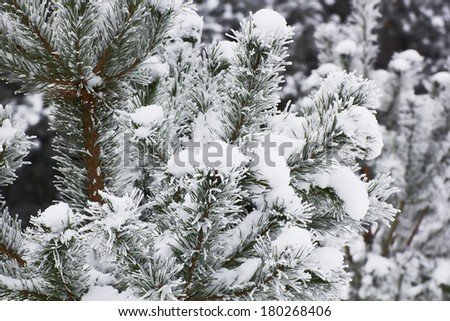 pine twigs covered with hoarfrost - stock photo