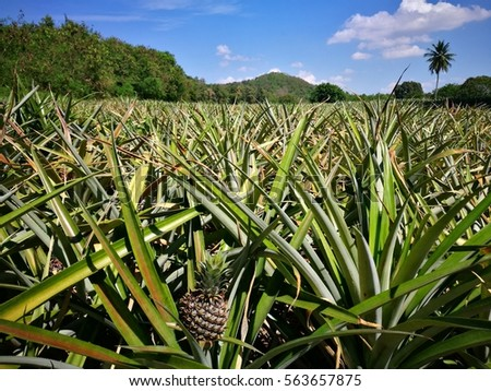 Pineapple Plant Field In Thailand