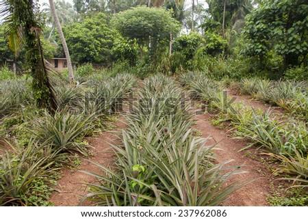 Sweet corn cultivation in sri lanka