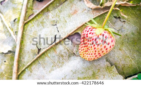 Pineberry with dry leaf : copy space - stock photo