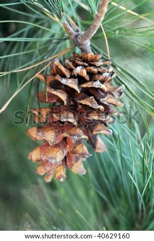 Pinecone on Tree - stock photo
