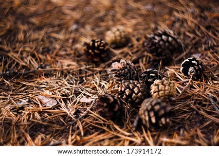 Pinecones and pine needle in the autumn forest - stock photo