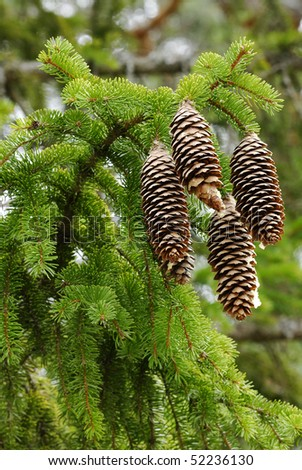 Pinecones of Norway Spruce