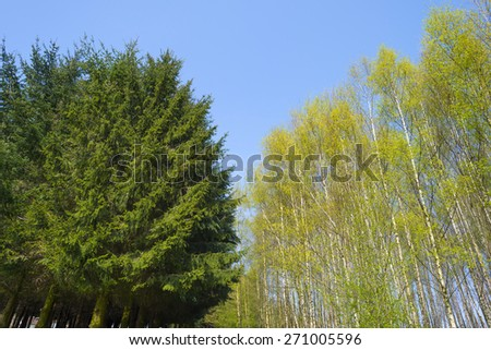 Pines and birches under a blue sky in spring - stock photo