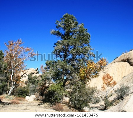 Pines and sycamores in a canyon in the high desert, California - stock photo