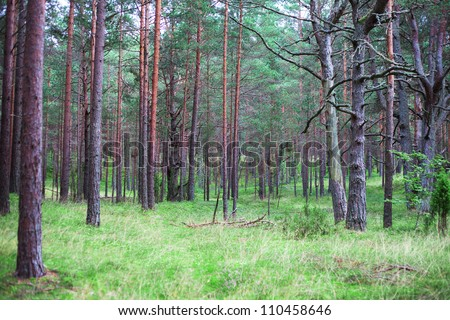 Pines in forest.
