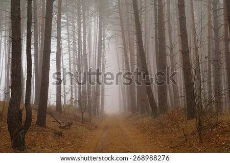 Pines in the forest with misty morning  - stock photo