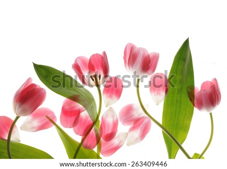 ping tulips close up on white - stock photo