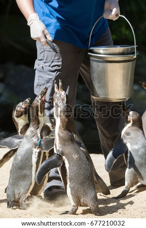 Pinguin is being fed by a human