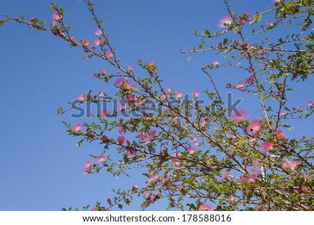Pink acacia blossom - stock photo