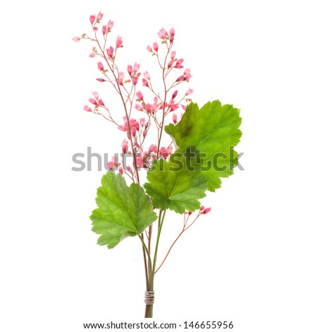 pink alum root flowers isolated on white background