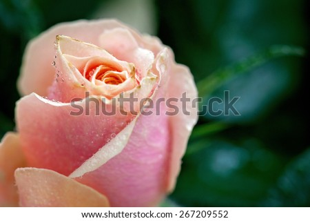 Pink and orange rose flower close-up photo with shallow depth of field, drops of water and leaves - stock photo