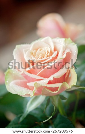 Pink and orange rose flower close-up photo with shallow depth of field, drops of water and leaves