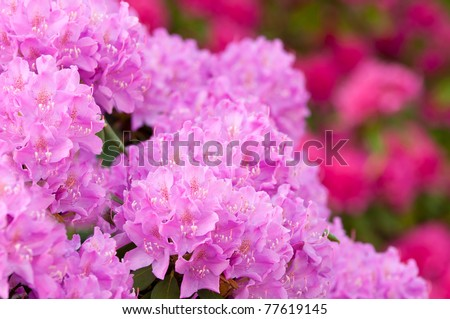 Pink and purple blooming rhododendron in spring - stock photo