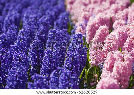 Pink and Purple Hyacinths, Netherlands