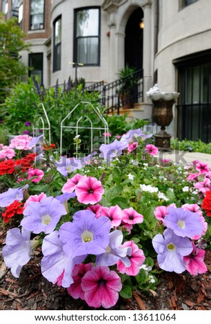 Pink and purple petunias in elegant urban garden of Back Bay, Boston - stock photo