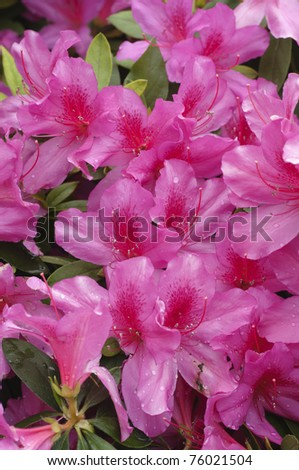 Pink and red Azalea flowers in full bloom - stock photo
