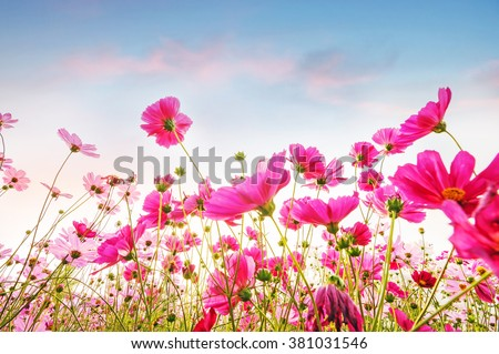 Pink and red cosmos flowers in the garden with clouds sky background , Soft focus. - stock photo
