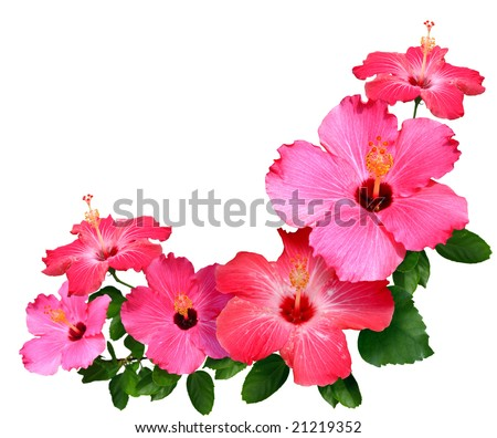 Pink and red Hibiscus flowers isolated in white with copy space - stock photo