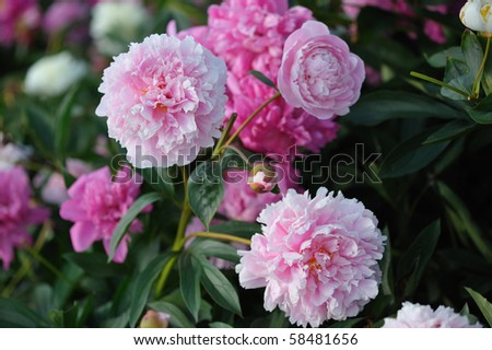 Pink and red peonies in a garden