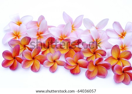 Pink and red plumeria - stock photo