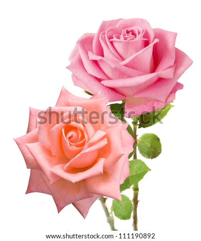 Pink and tea roses bunch closeup isolated on white background - stock photo