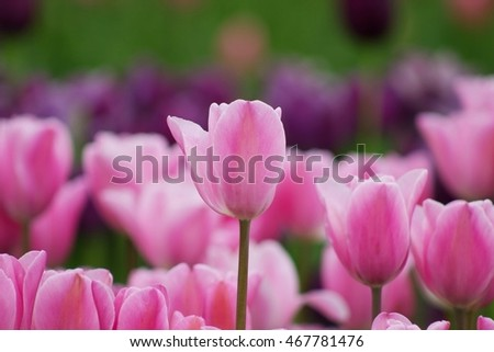 Pink and tulips in a field against purple and green background.