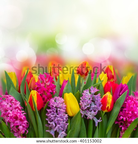 Pink and violet hyacinths with tulips fresh  flowers  border over bokeh background with copy spce - stock photo