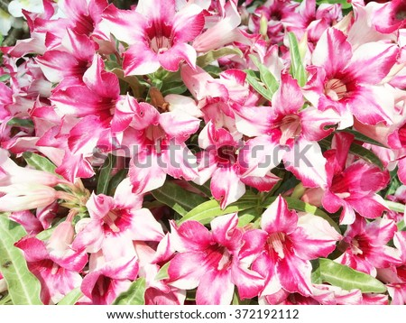 Pink and white azalea flower