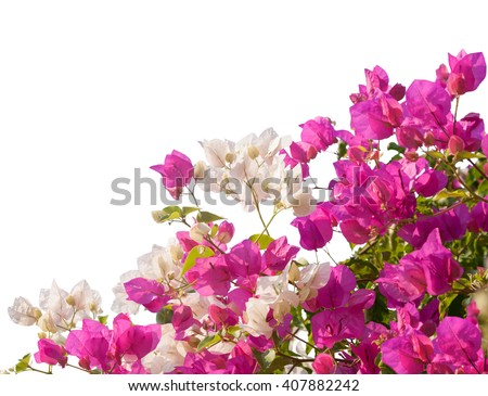 Pink and white blooming bougainvilleas isolated on white background